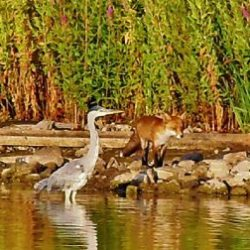 Rotherhithe resident Kam Hong Leung captured this photograph of a heron, fox and coot at Canada Water